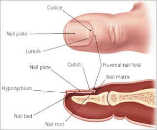 Nail Fungus onychomycosis Explanation